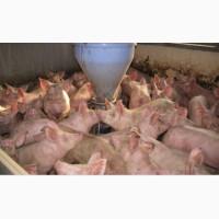 Продам свиней живим весов