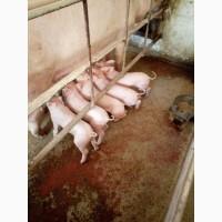 Продам мясних поросят 10-30 кг 3-х породний гібрид F1+Петрен