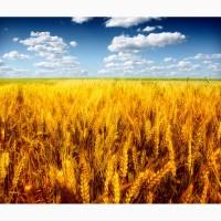 Продам пшеницу на эспорт. От поставщика