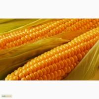 Семена гибридов кукурузы компании Маис
