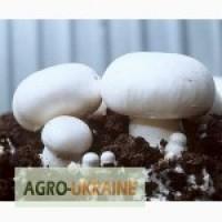 Куплю грибы шампиньоны оптом