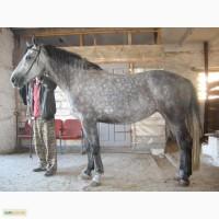 Продам верхово-упряжную лошадь