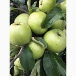 Продам яблоки от производителя. Опт/ много сортов