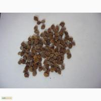Продам семена черноголовника