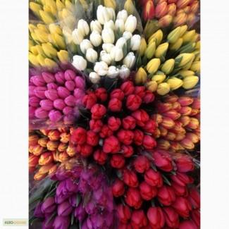 Тюльпаны оптом от производителя от 100 шт