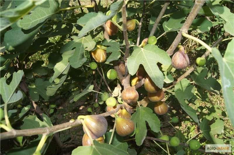 Выращивание инжира в открытом грунте в украине 66