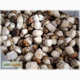 Куплю білий гриб свіжозбираний