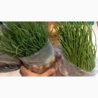 Продам лук-севок(арбажик, тыканка)