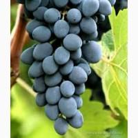 Виноград синий (Молдова)