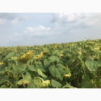 Продам насіння соняшника- ультраранній