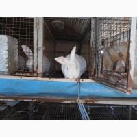 Продам шкурку кроля мокру