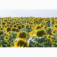 Продається насіння соняшнику Ясон