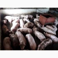 Кращі свині тут