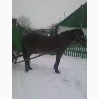 Робоча гарна кобила