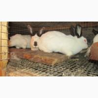 Продам каліфорнійських кролів, кроликів та кролячі клітки