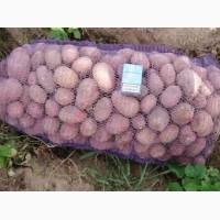 Продаем посадочный картофель сорт ривьера