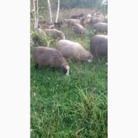 Терміново продам отару овець