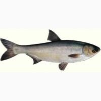 Продам рибу