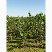 Саженцы яблони груши персика сливы черешни айва и др