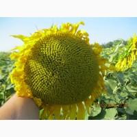 Насіння соняшнику СЕРДЖІО, Штрубе (Strube) класичний гібрид для всіх регіонів