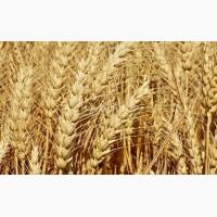 Куплю продовольчу і фуражну пшеницю