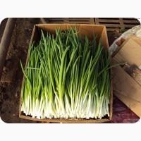 Продам зелёный лук перо размер длины 35 40 см с Доставкой