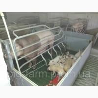 Продам на постоянной основе поросят на откорм 24-25 кг