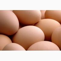 Купить инкубационное яйцо росс-308 (ВЕНГРИЯ) Оригинальное