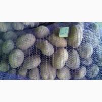 Продам картофель сорт белая роса