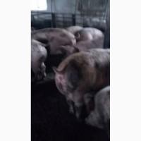 Продам свиней м#039;ясної породи, Київська обл