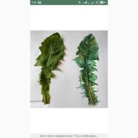 Закупаем лист кульбабы и корень, цвет и лист глоду, цвет бузины, липы
