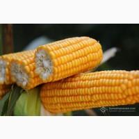 РУНІ насіння кукурудзи ФАО 320