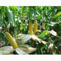 Семена предлагаю Кукурузы КРИНИЧАНСКИЙ 257СВ F1