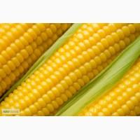 Продажа семян кукурузы Сингента