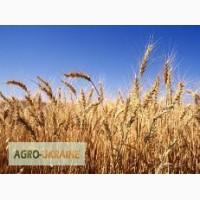 Пшеница 2-6 класс