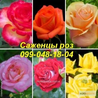 Саженцы роз от производителя