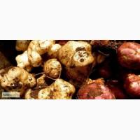 Продам насіння топінамбура