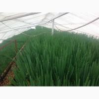 Продам круглый год лук зелёный ( перо )