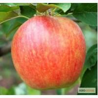 Яблуко продам