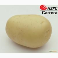 Семена картофеля Каррера