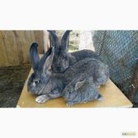 Продам племенных кроликов