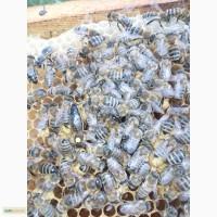 Пропоную бджолині матки