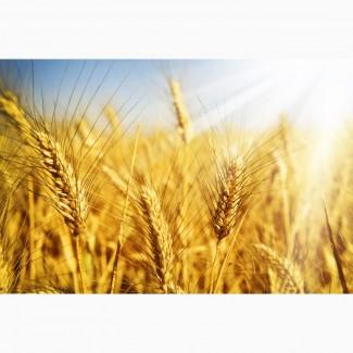 Принимаем сельхозпродукцию по всем регионам Украины (Пшеницу)