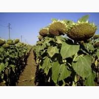 Закупаем оптом урожай подсолнечника масличного