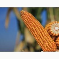 Семена кукурузы Сильвинио