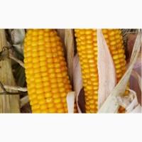 Продам високоурожайную кукурузу, урожай 2018, 2017 года