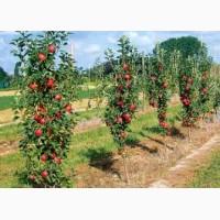Саджанці (саженцы) яблунь, яблок, яблук ОПТ