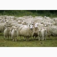 Куплю овец и ягнят на забой