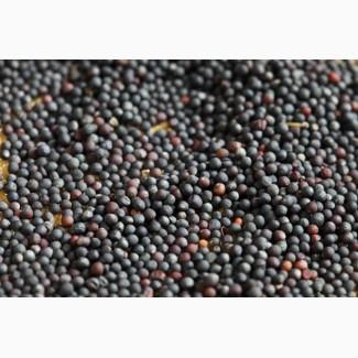 Продам семена рапса оптом от производителя