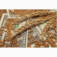 Куплю пшеницу, зерноотходы пшеницы, некондиционное зерно